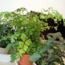 教室に観葉植物7種類仲間入りしました。